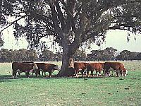 Cattle sheltering under a gum tree